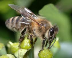 Biene wespe vergleich